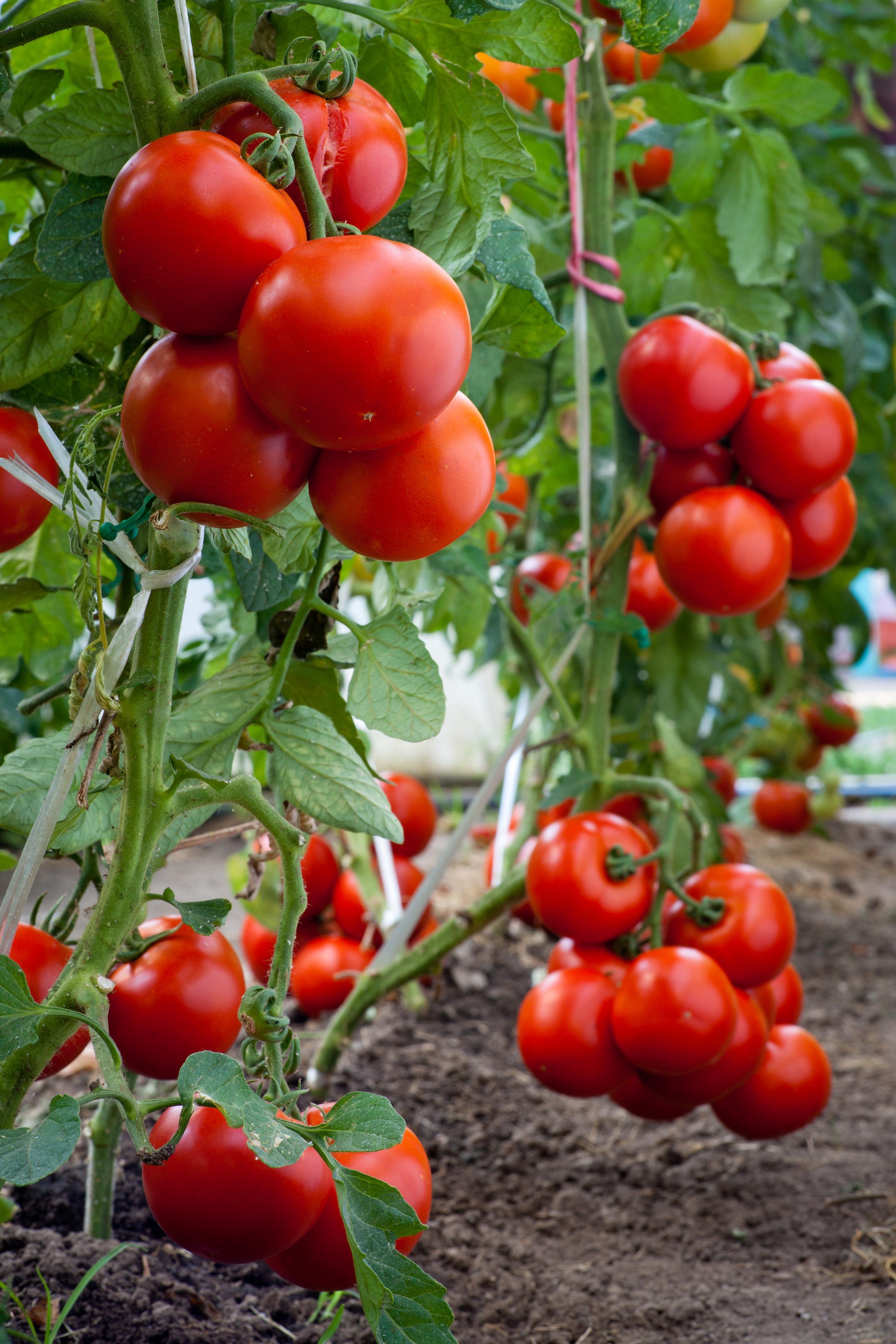 growth tomato