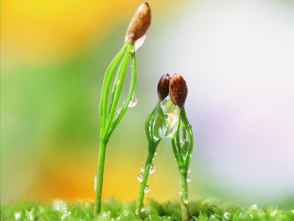 芽与露水1